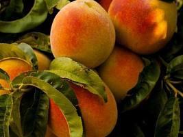 В чем польза абрикоса?