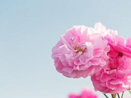 Как майская роза: 5 полезных фактов о цветке для вашей молодости и красоты